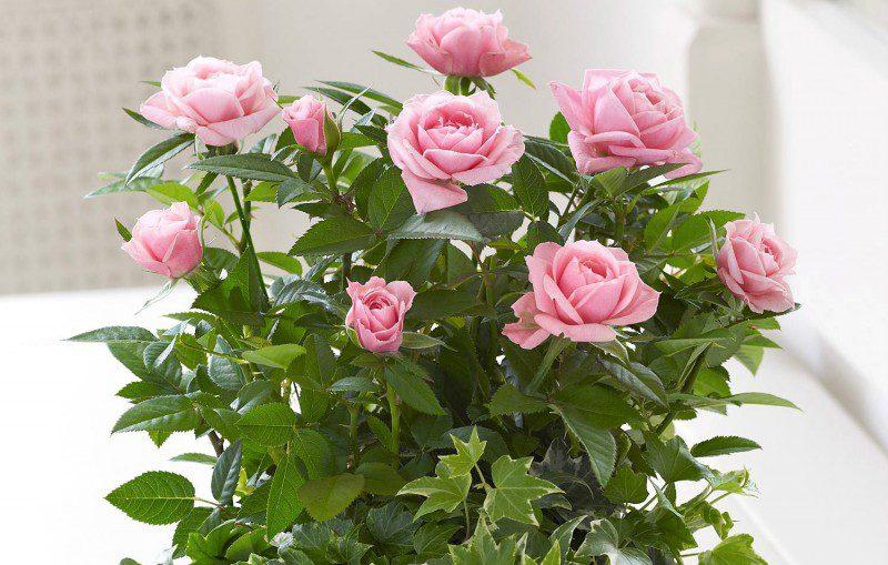 кімнатна троянда